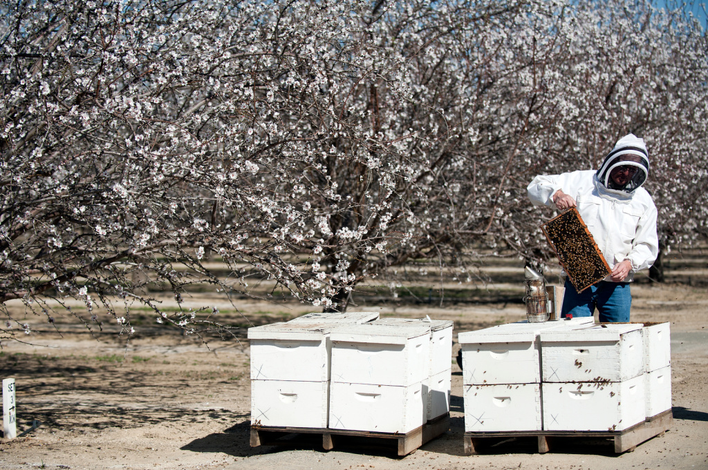 Almond farmers rely on bees to pollinate trees in the spring.
