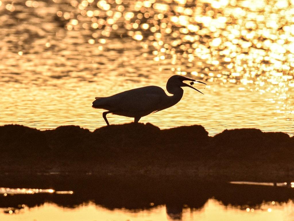 An egret forages at a wetland in Wanning, south China's Hainan Province, last month.