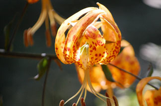 One of the few Humboldt lilies (also called leopard lilies)  that survives in Big Santa Anita canyon. English Ivy has smothered most of  the native plants along a 3-mile stretch of the stream.
