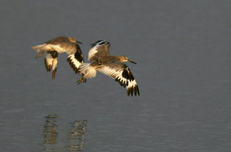 Willets fly over the Los Cerritos Wetlands on July 31, 2007 near Long Beach, California.