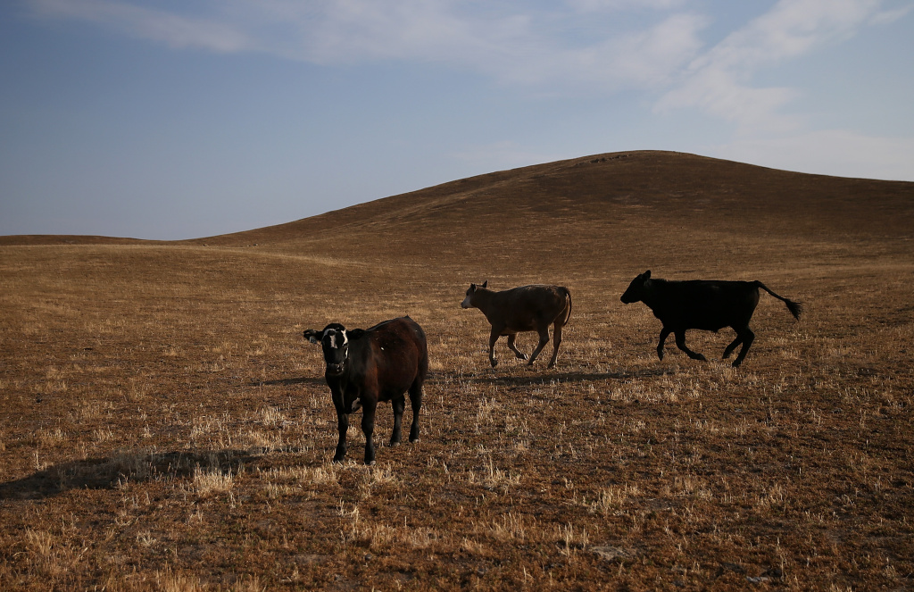 Cattle walk on dried grass in Raymond, California. As California enters its fourth year of severe drought, farmers in the Central Valley are struggling to keep their crops watered.