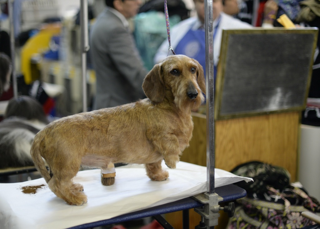 A Long haired Dachshund seen in the benching area at Pier 92 and 94 in New York City for the first day of competition at the 138th Annual Westminster Kennel Club Dog Show February 10, 2014. The Westminster Kennel Club Dog Show is a two-day, all-breed benched show that takes place at both Pier 92 and 94 and at Madison Square Garden in New York City.