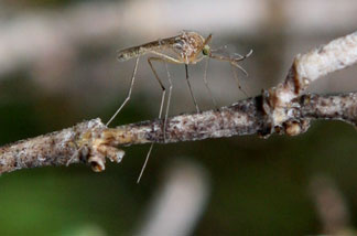 File photo: A mosquito sits on a stick April 9, 2009 in Martinez, California.