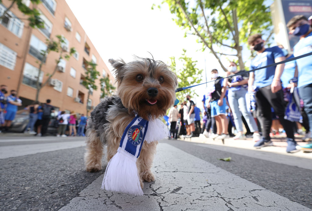 A dog wearing a Getafe wearing scarf as fans welcome the team to the stadium prior to the La Liga Santander match between Getafe CF and Levante UD at Coliseum Alfonso Perez on May 16, 2021 in Getafe, Spain.