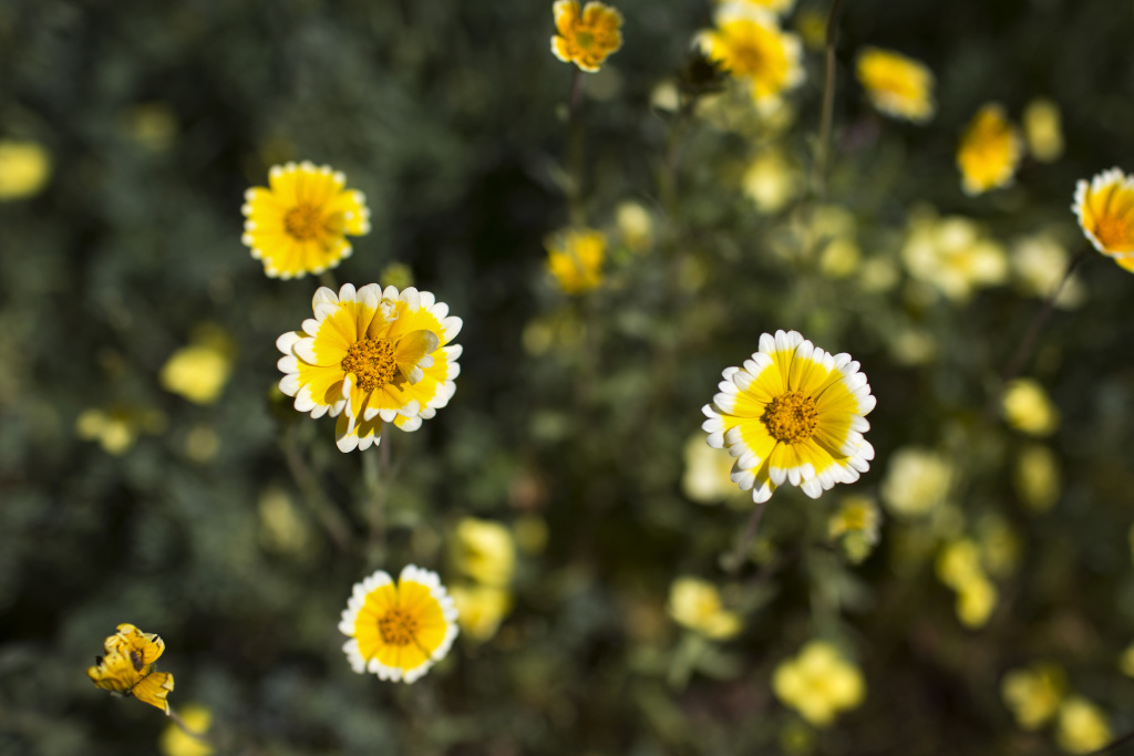 Tidy Tips are spring annuals with yellow and white daisy-like flowers on top of long stalks. Their seeds germinate with winter rain and need no supplemental water.