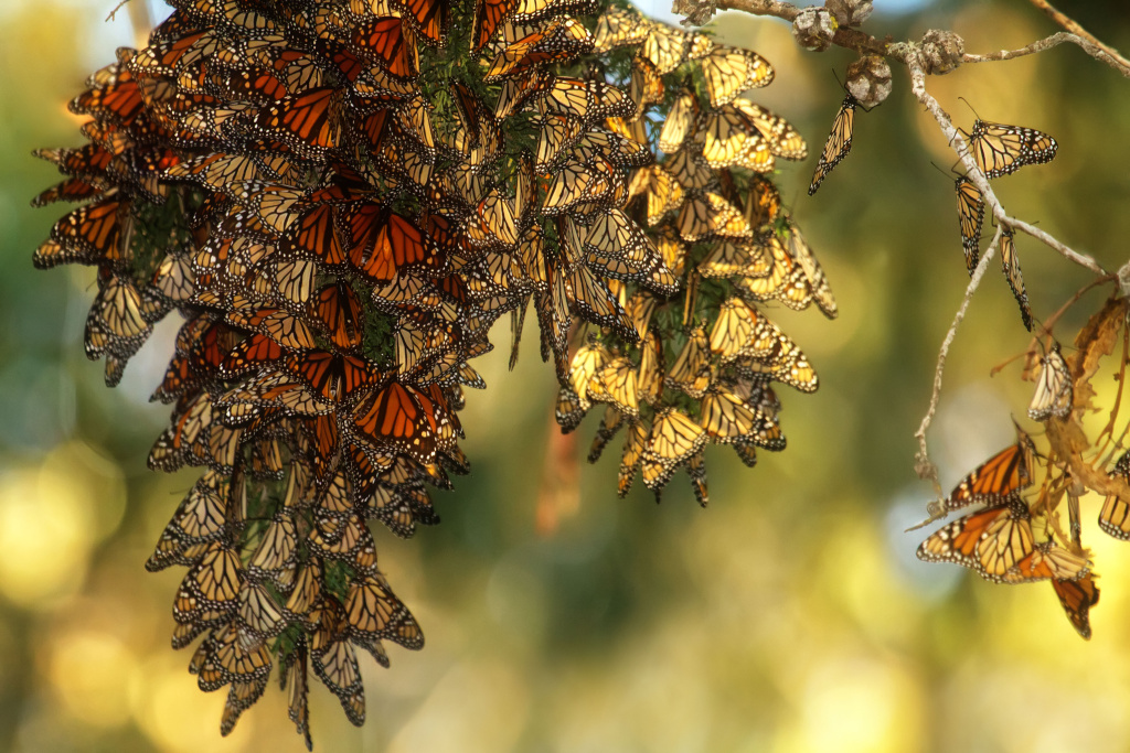 Monarchs cluster at Pismo State Beach in San Luis Obispo County, CA in December 2014.