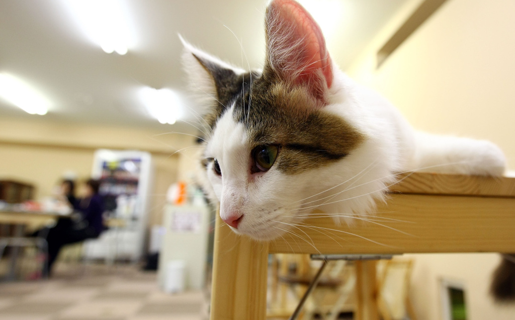 A cat lies at Nekorobi cat cafe on January 20, 2009 in Tokyo, Japan.