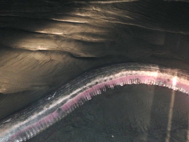 The head of the 14-foot female oarfish found in Oceanside, California.