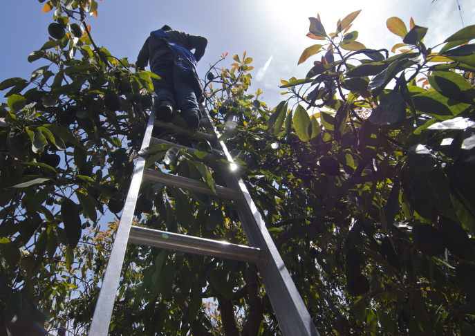 Workers at Leavens Ranch in Ventura County must stand on tall ladders to harvest all the avocados.