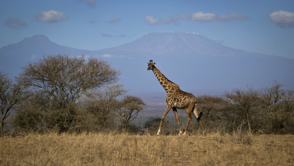 In this photo taken Thursday, Aug. 18, 2016, a giraffe walks across the savannah in Amboseli national park, Kenya, as the highest mountain in Africa Mount Kilimanjaro in Tanzania is seen in the background. Statuesque giraffes, overlooked because they seem to be everywhere, are now vulnerable to disappearing off the face of the Earth according to biologists who create the world's extinction watch list, at a biodiversity meeting in Mexico Wednesday, Dec. 7, 2016.