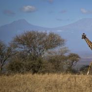 Kenya Disappearing Giraffes