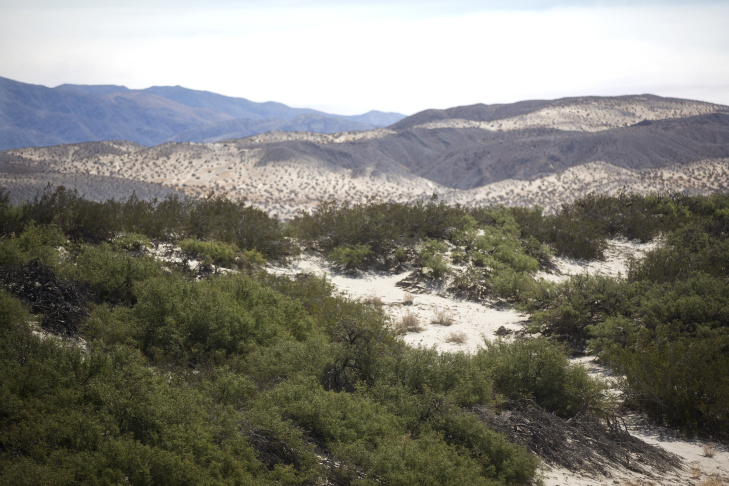 With dwindling groundwater, the honey mesquite plant is dying in large numbers in the Palm Springs area. The ongoing drought has made those living in the area more dependent on groundwater.