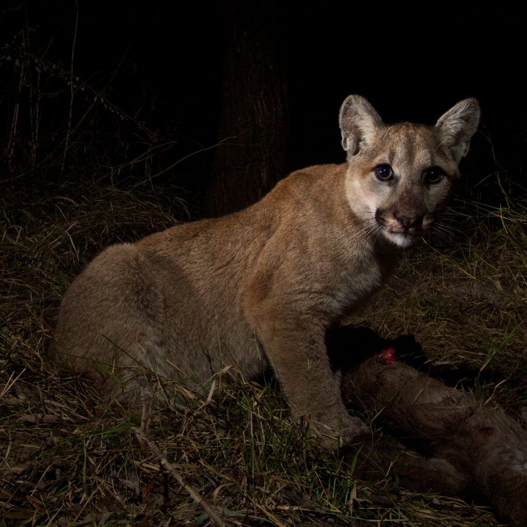 P-28 is a mountain lion cub born in spring 2013 in the Santa Monica Mountains, captured on a remote camera set up by the National Park Service.