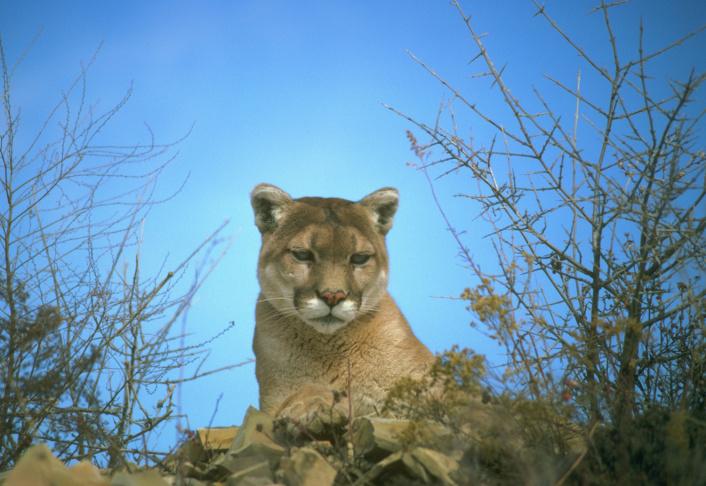 U S Mountain Lion Population Take Two | Moun...