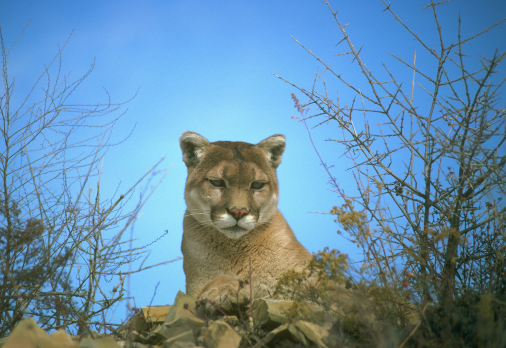The agency has asked the government to help out with $2 million in a federal grant to help establish an overpass for use of the area's landlocked mountain lions.
