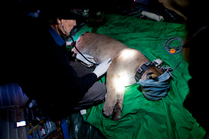 F95, a two-year-old mountain lion, is briefly sedated as researchers with UC Davis' Wildlife Health Center and other local organizations check the wildcat's health and re-apply her GPS collar, at 2 a.m. on March 14 in the Santa Rosa Plateau area.