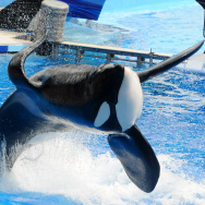 Killer Whale That Killed Its Trainer Returns To Show At SeaWorld