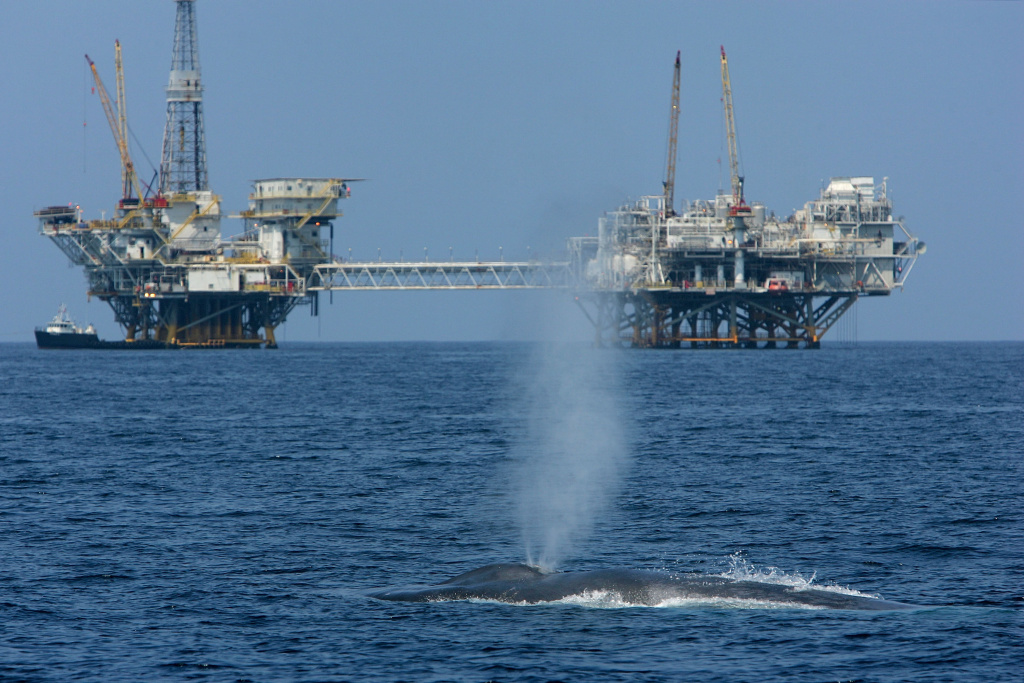 A rare and endangered blue whale spouts near offshore oil rigs after a long dive on July 16, 2008 near Long Beach, California.