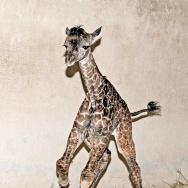 LA Zoo Baby Giraffe
