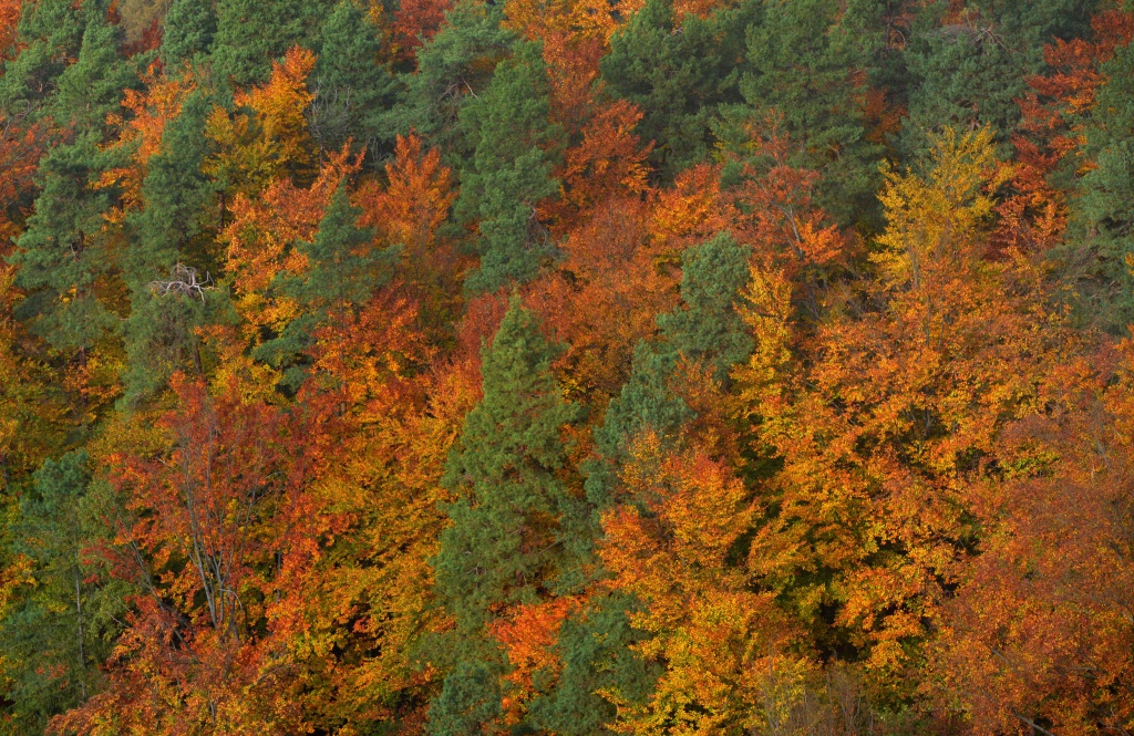 The leaves change their colour in the forest near Hrensko, North Bohemia on October 23, 2016.