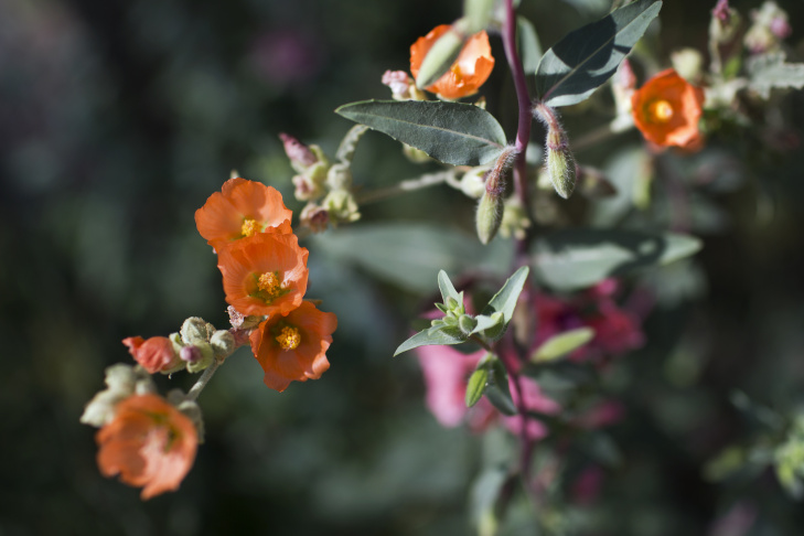 Slideshow the 13 best calif native drought tolerant plants for california mountain lilac mightylinksfo