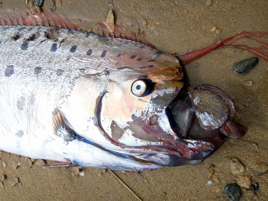 Slideshow: Rare oarfish found off Catalina Island beach   89.3 KPCC