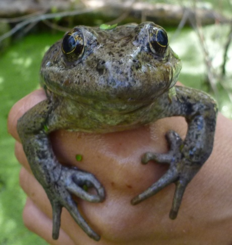 One of a handful of juvenile California red-legged frogs who have survived their first year in the Santa Monica Mountains, the first of the species to live in the Santa Monica Mountains since the 1970s. Biologists hope the juveniles will survive into adulthood and will begin breeding in the spring of 2016. Courtesy of the National Park Service.