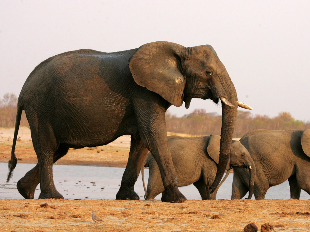 The U.S. Fish and Wildlife Service has lifted a ban on importing sport-hunted trophies of elephants from Zimbabwe and Zambia.