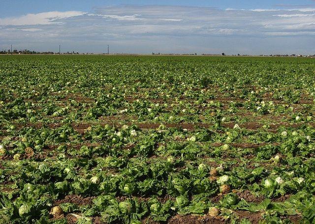 Lettuce fields south of Yuma, Arizona, February 2010