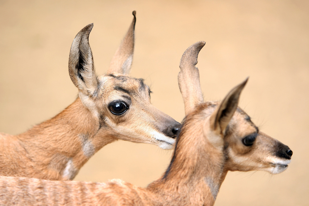 Two rare Peninsular pronghorns, male twins, born at the Los Angeles Zoo in 2009.