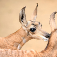 LA Zoo Celebrates New Births, Including Rare Peninsular Pronghorns