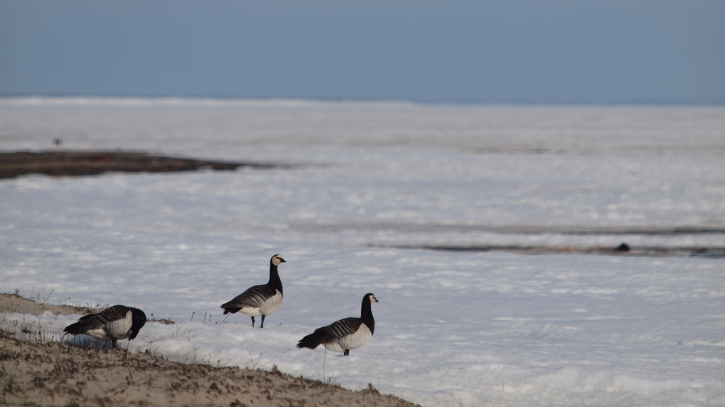 Barnacle geese have sped up their migration to their breeding grounds because of warming Arctic temperatures.