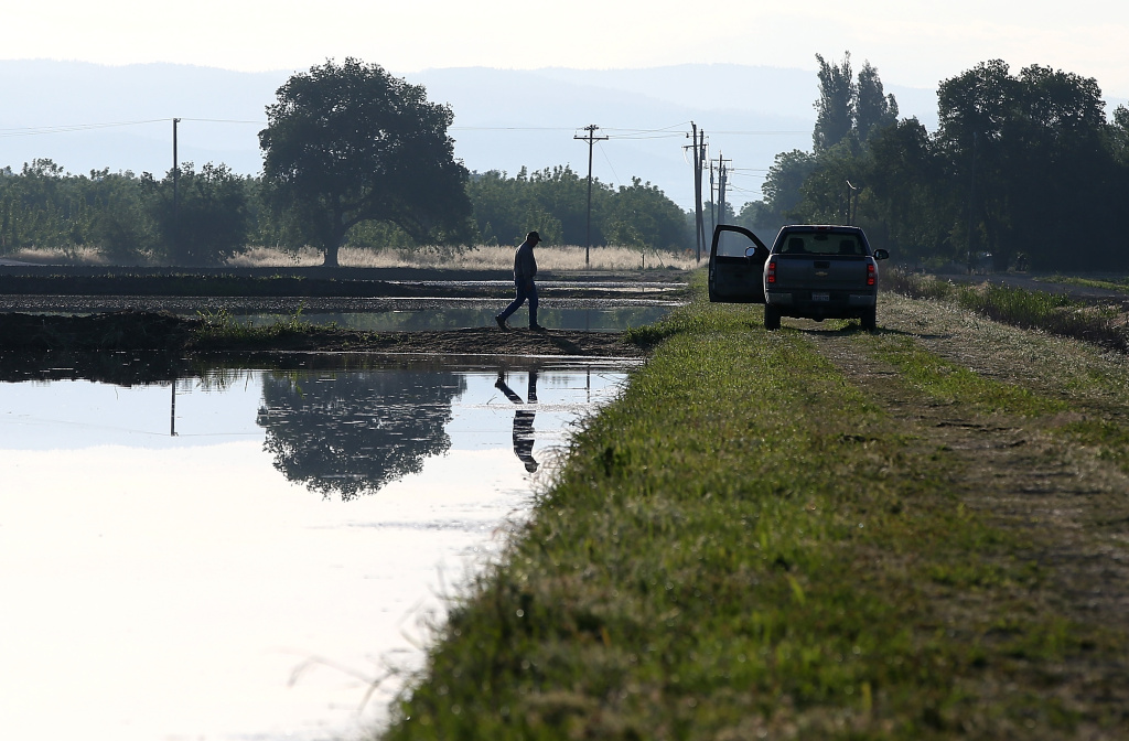 BIGGS, CA - MAY 08: A farmer walks on the banks of a flooded rice field on May 8, 2015 in Biggs, California. As California enters its fourth year of severe drought, a lack of water has rice farmers are cutting back on their annual plantings which has left many crop dusting and seed planting operations with half of the work as normal. According to the California Rice Commission, 434,000 acres of rice were planted in 2014 compared to 567,000 in the previous year. (Photo by Justin Sullivan/Getty Images)