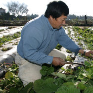 Farmer Fong Tching thins out his strawberry plants before spring Friday, Dec. 23, 2005, in Fresno, Calif. Hmong farmers like Tching is an ethnic Hmong, a tribe from the hills of Southeast Asia with agriculture in its blood. Many like Tching are facing numerous challenges including stricter regulations and labor shortages as their children abandon the family's agricultural traditions for more lucrative jobs.
