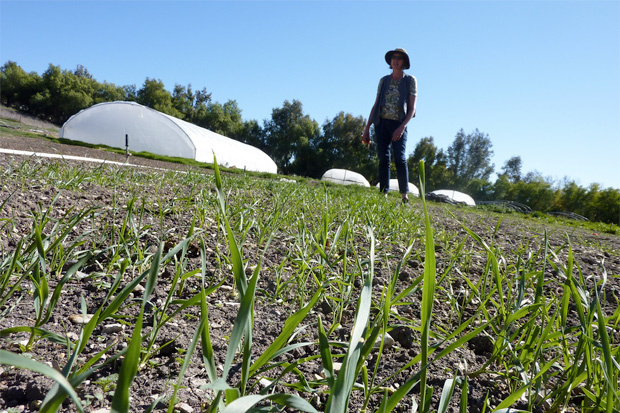 Andrea Crawford surveys the two-week old-wheat field on her farm in Agoura Hills.