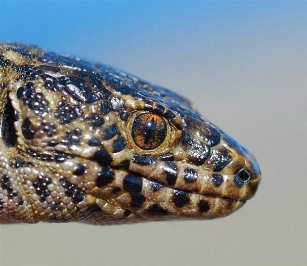 Xantusia riversiana, the island night lizard, inhabits three of the Channel Islands.