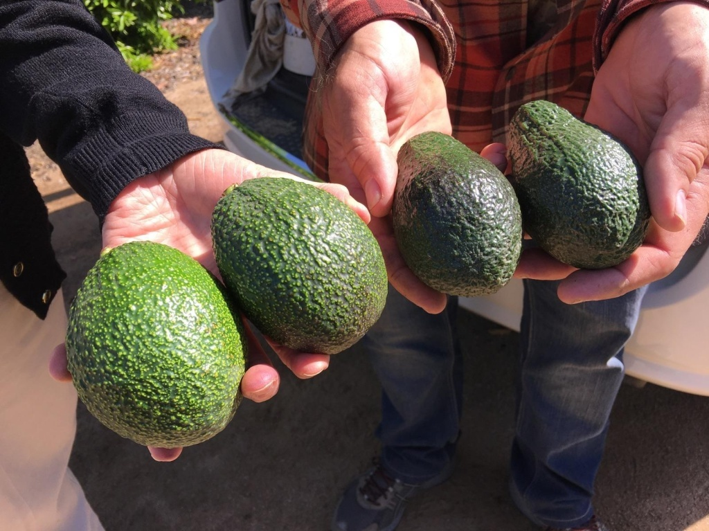 The avocados on the right are Hass, America's favorite variety of the green fruit. At left are GEM avocados, the great-granddaughter of the Hass. GEM avocados grow well in California's Central Valley and, in taste tests, they scored better than the Hass in terms of eating quality.