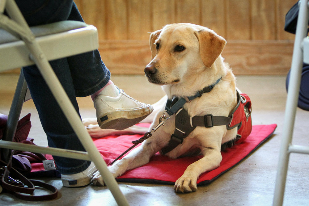 Dogs can be trained to sniff out low blood glucose to aid diabetes patients, but the specialty pups like these cost about $20,000.