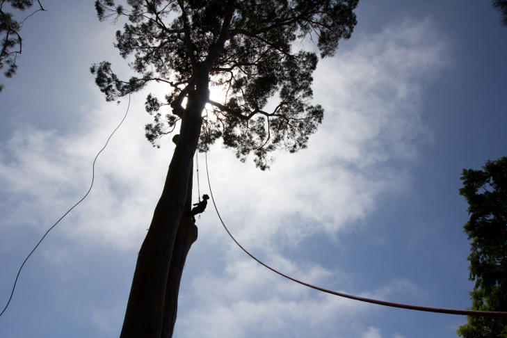 A tree cutter climbs up the Eucalyptus Deanei tree that's more than 130 feet tall on the Rumack's front yard in Santa Monica, Calif., Thursday, September 13, 2012. The tree, made a landmark 10 years ago, was declared unsafe and a public nuisance by the city who ordered the Rumack family to cut the tree down.
