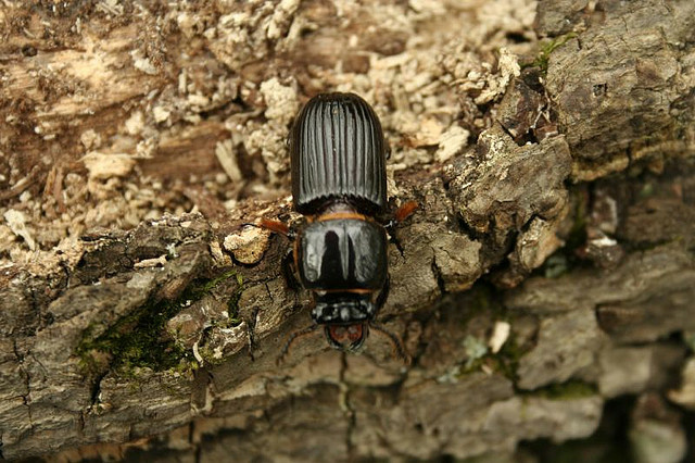 Large bark beetle.