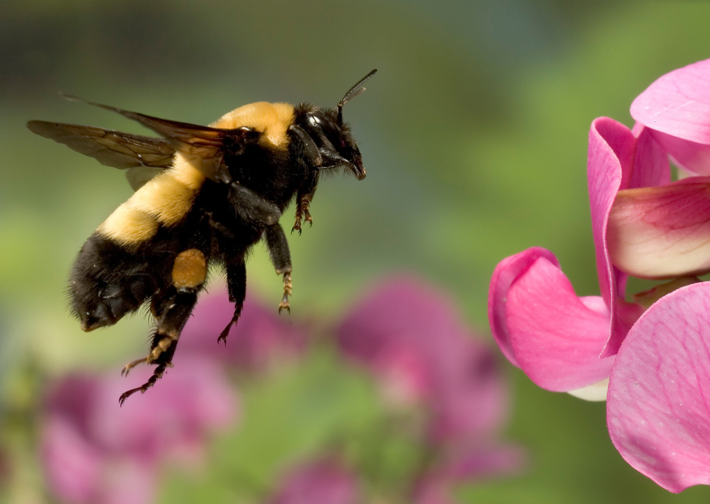 Bumble bees could become protected under California's Endangered Species Act.