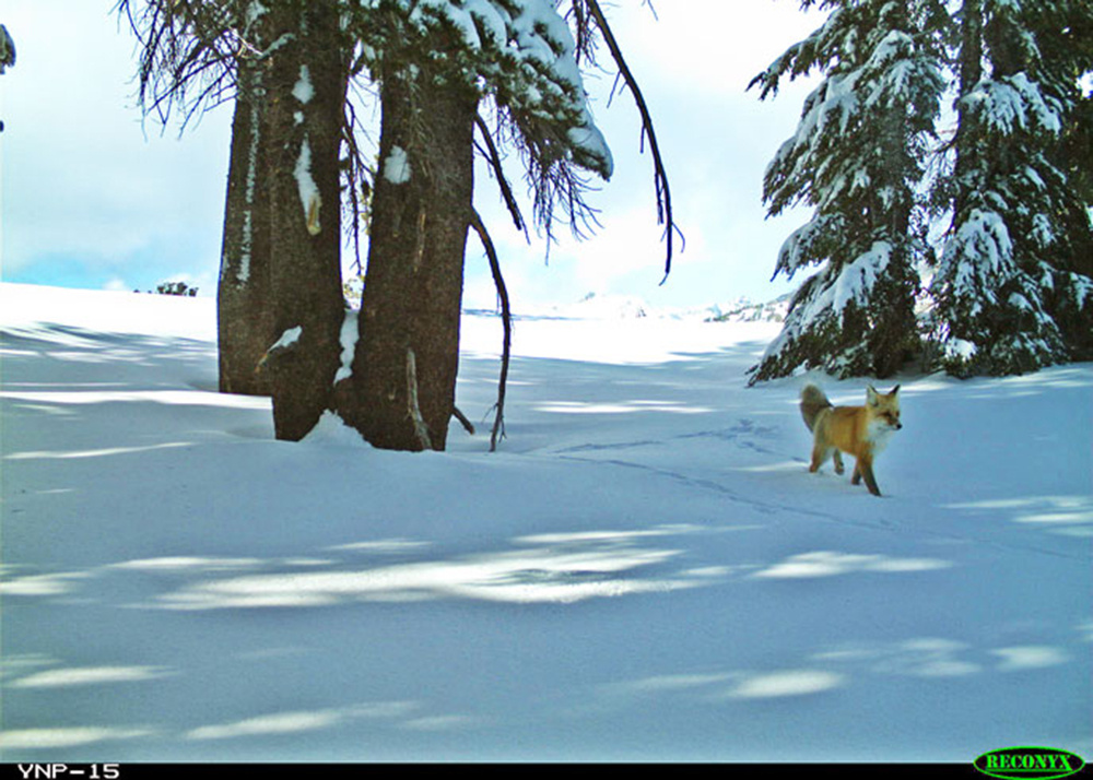The fox was captured using motion-sensor cameras Dec. 13, 2014 and Jan.4, 2015, according to a statement from Yosemite National Park.