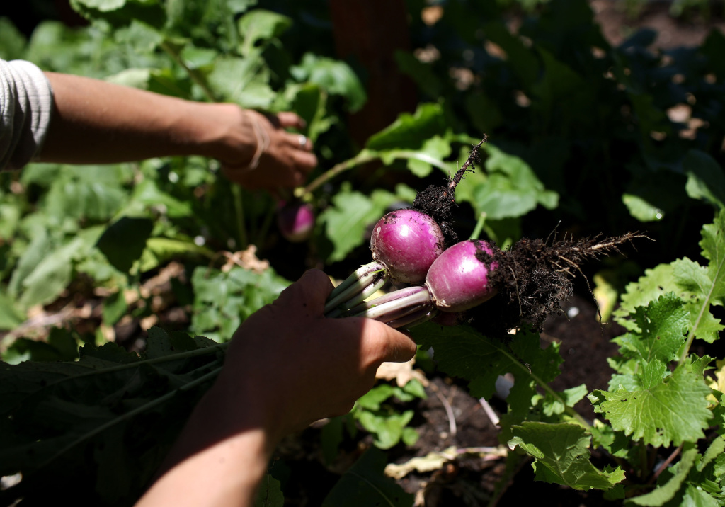 A farmer pulls vegetables from his farm.