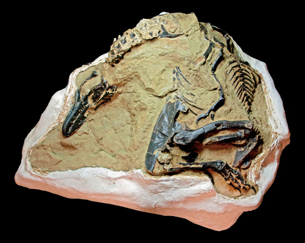 In this Thursday, Nov. 14, 2013 photo, a nanotyrannus lancensis fossil is displayed in New York. Two fossilized dinosaur skeletons found on a Montana ranch in 2006 are coming up for sale in New York City. The nearly complete skeletons are billed as the Montana Dueling Dinosaurs.