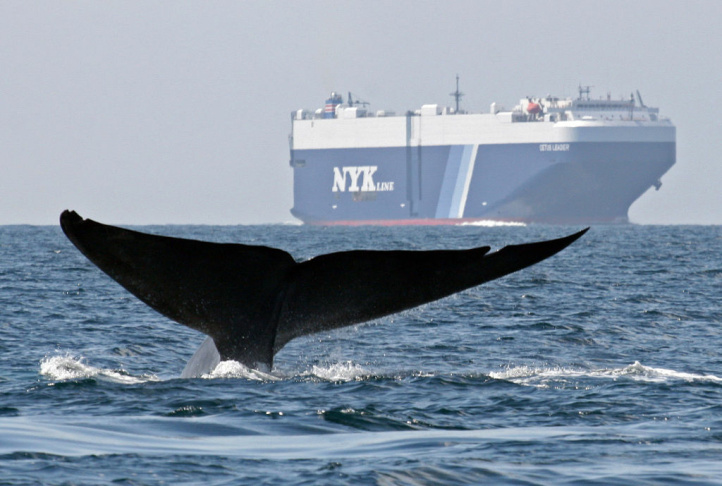 In this photo taken August 14, 2008 and provided by John Calambokidis, a blue whale is shown near a cargo ship in the Santa Barbara Channel off the California coast. The whales have suction-cup attached tags to so their underwater behavior and reaction can be monitored during the close passes near ships.