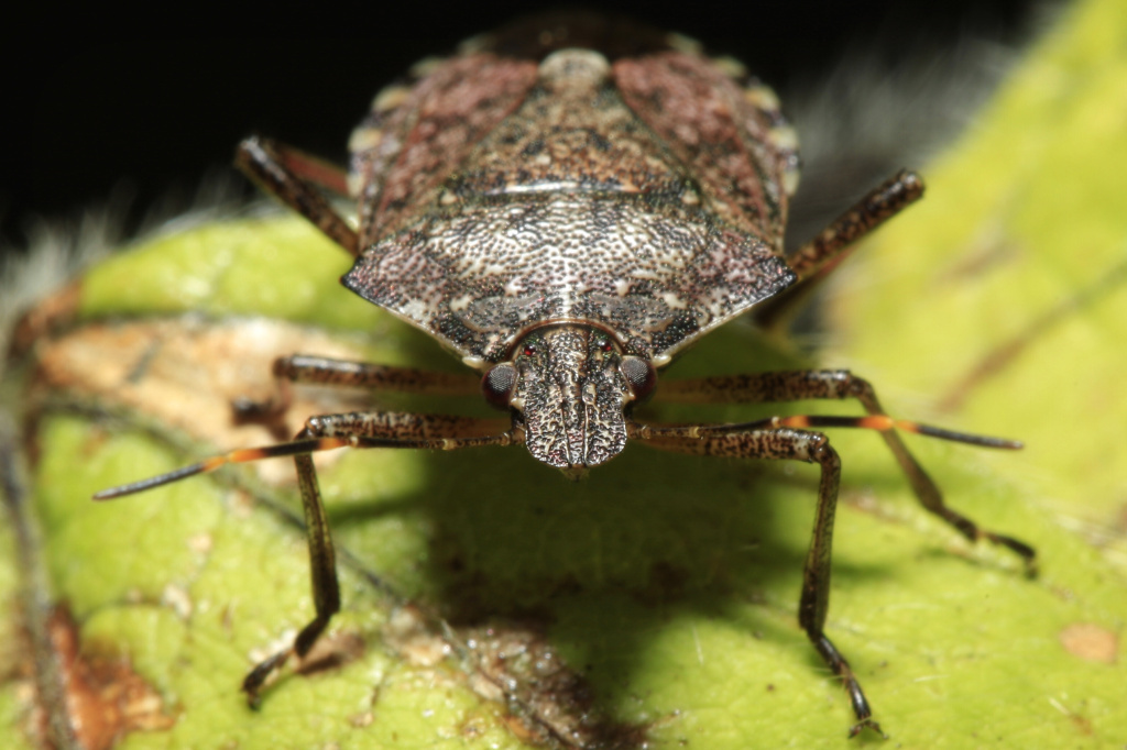 The invasive brown marmorated stink bug has become an expensive nuisance for U.S. farmers. It has spread to 40 states and eats about 100 different crops.