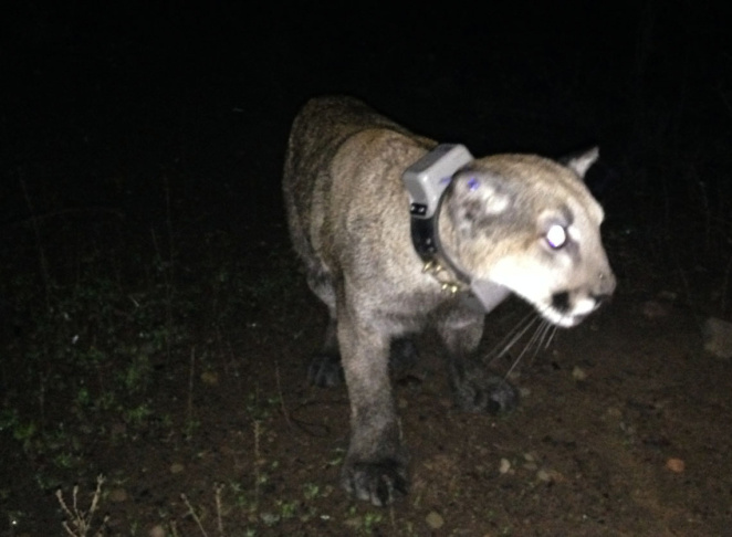Mountain lion P-43 seen on July 23, 2015. P-43's remains were found in September.