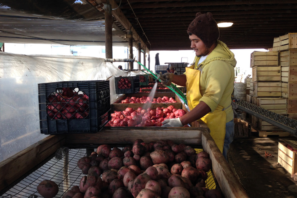 Nahun Villagomez Sanchez washes freshly dug Red LaSoda potatoes at T&D Willey Farms near Madera, Calif. Produce growers often rely on workers who are in the U.S. illegally. Some farmers worry that if those workers gain legal status, they will leave agriculture.