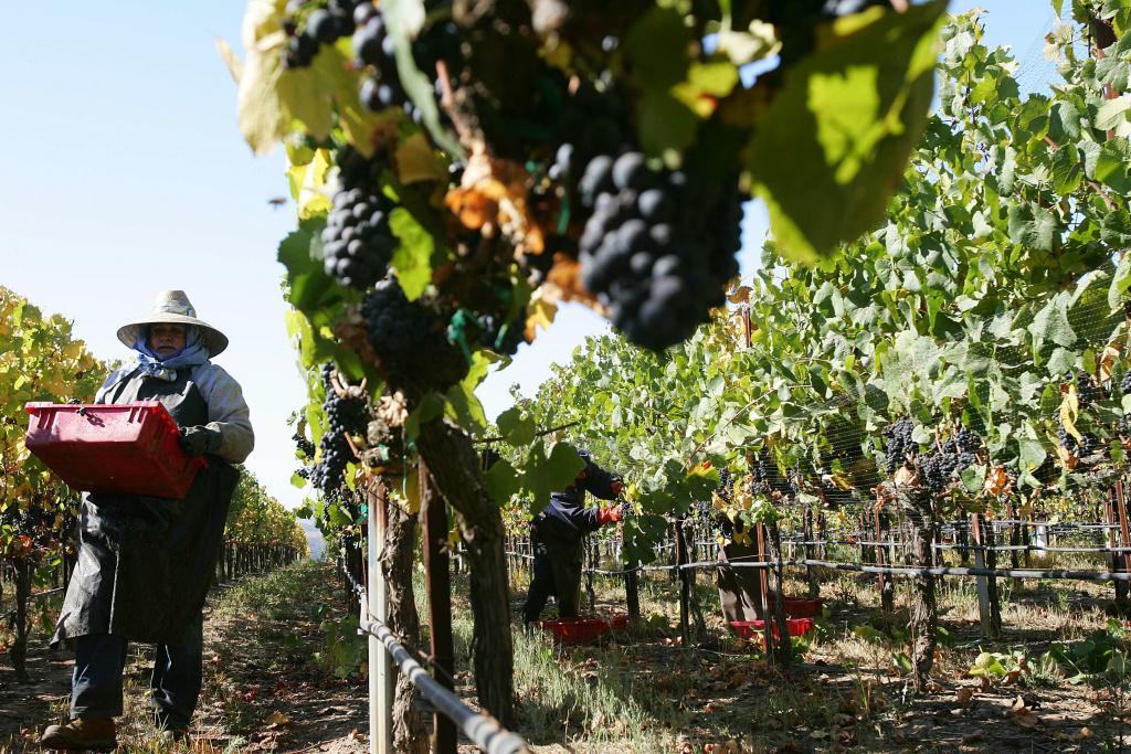 Farm workers harvest Pinot Noir wine gra