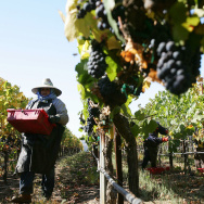 Farm workers harvest Pinot Noir wine gra